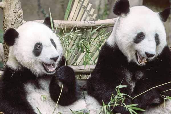 Desak kerajaan pulangkan tiga panda kepada China