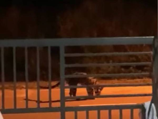 Gempar!!! Seekor harimau kelaparan kelihatan berkeliaran di Kampung Lahar